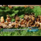 Embedded thumbnail for Abejas con genética certificada