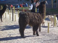 Polymorphisms in MC1R and ASIP genes and their association with coat color phenotypes in llamas (Lama glama)