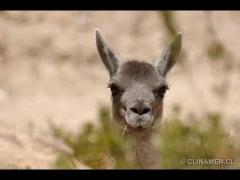 Embedded thumbnail for Esquila de guanacos