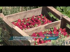 Embedded thumbnail for De peones a productores del fruto rojo
