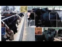 Embedded thumbnail for Feedlot